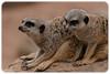 A Pair of Meerkats (Suricata suricatta)