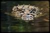 Salt Water Crocodile (Crocodylus porosus)