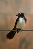 A willy wagtail on a wire (Rhipidura leucophrys) spotted along the riverside walkway, near the Eagle street pier in Brisbane
