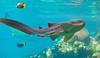 Leopard Shark (Triakis semifasciata)