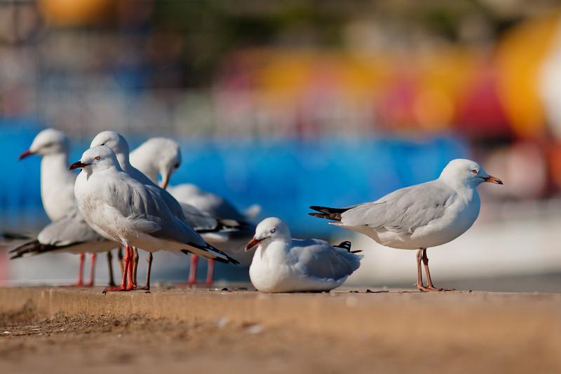 Silver Gull (Chroicocephalus novaehollandiae), McMahon's Point, Sydney with Luna Park colours in the background