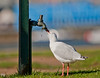 Silver Gull (Chroicocephalus novaehollandiae) drinking from a dripping tap.<br /> <br /> McMahon's Point, Sydney