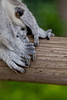Ring-tailed Lemur Toes