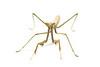 A large praying mantis (8cm)