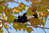 A Australian Magpie scratching its head on the branch of a plane tree (Cracticus tibicen)