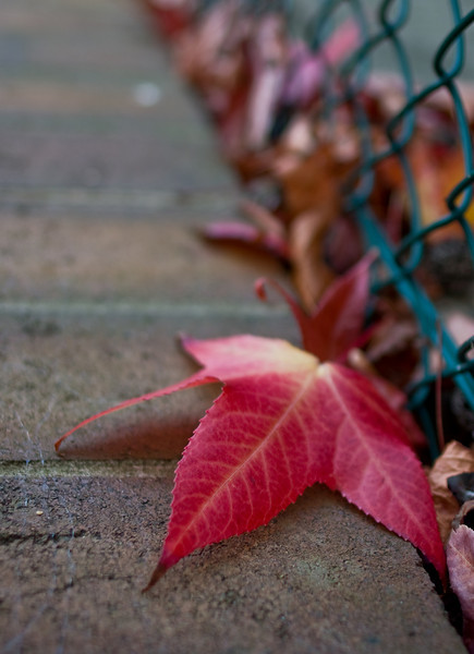 Red Leaf Against a Fence