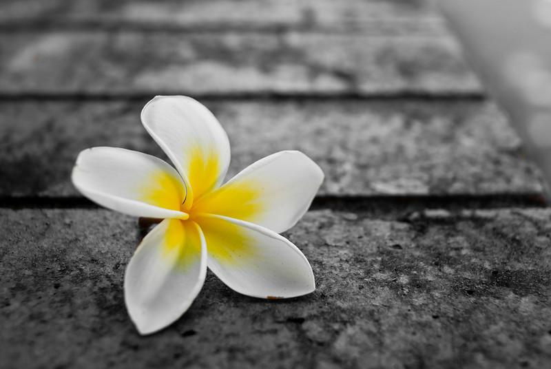 Frangipani Flower on a Wall