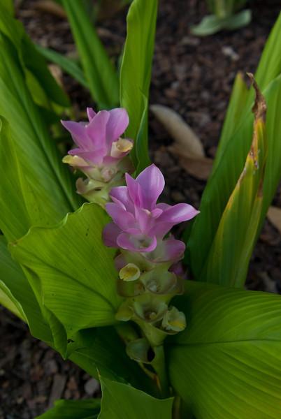 Purple Ginger Flowers