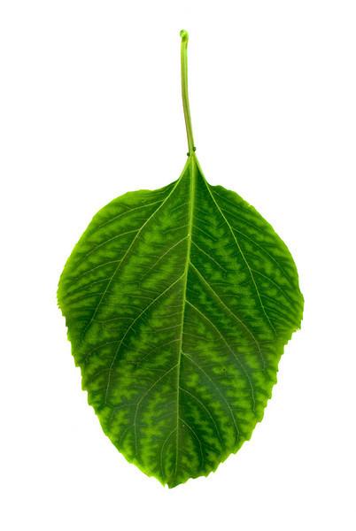 Passionfruit Leaf