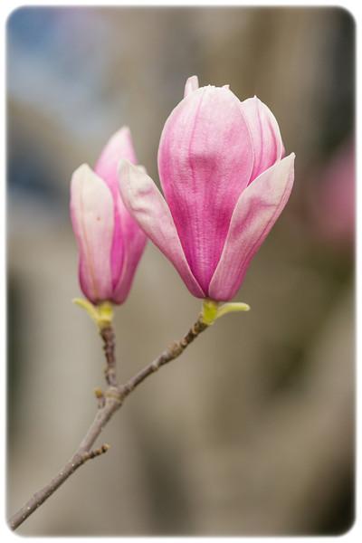 Flowering Magnolia soulangeana