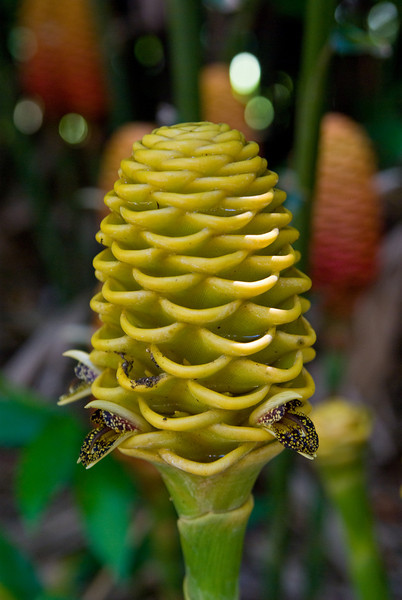 Red and Yellow Beehive Ginger