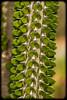 Alluadia Succulent from Madagascar