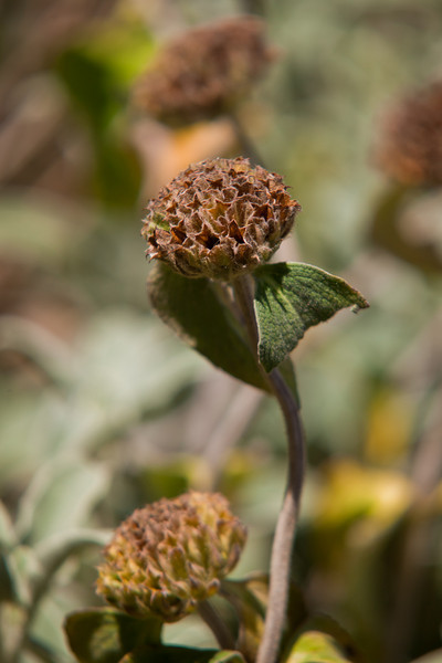 Dry Flower Minus Seeds