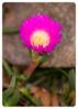 Pigface flower (Carpobrotus glaucescens)