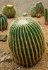 Cactus (Echinocactus grusonii)