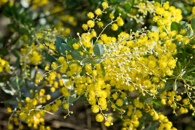 Queensland Silver Wattles (Acacia podalyriifolia)