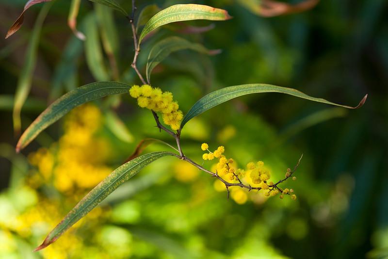 Zig-Zag Wattle (Acacia macradenia)