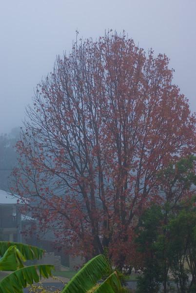 Liquidambar Tree in the Fog