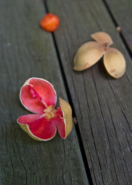 Open Red/Orange Seed