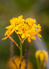 Yellow Crucufix Orchid (Epidendrum ibaguense)