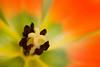 Orange Tulip Macro