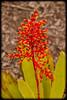 Bromeliad: Aechmea ramosa
