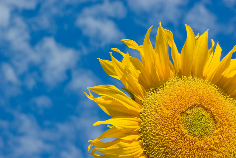 Sunflower against a cloudy blue sky