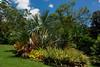 Catherine's garden in Bardon: Bismarck Palm (bismarckia)