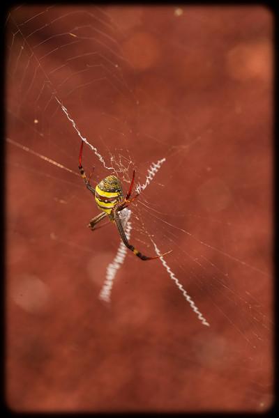 St Andrew's Cross Spider (Argiope trifasciata)