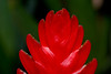 Tip of Bright Red Vriesea Bromeliad Flower