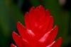 Tip of Bright Red Vriesea Bromeliad Flower