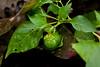 Eleanor's Capsicum Plant
