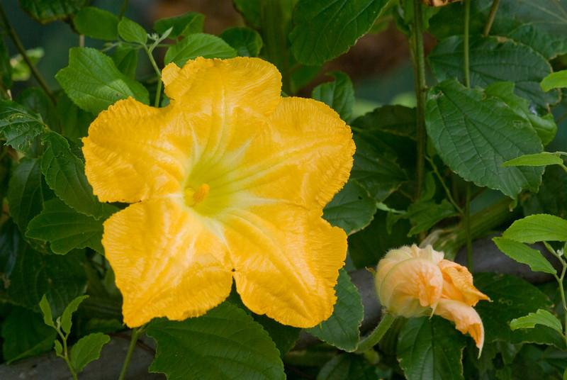 Bright Yellow Hibiscus