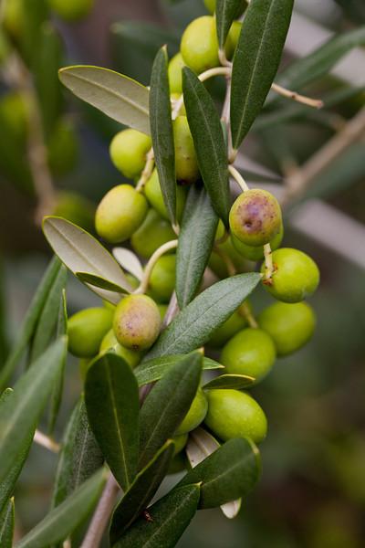 Road Side Olive Trees in Bondi