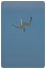 Diving Crested Tern (Sterna bergii)
