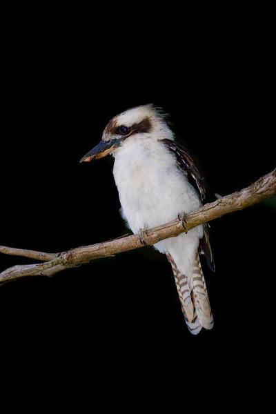 Laughing Kookaburra on a Branch