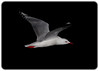 Australian Silver Gull in Flight at Night Chroicocephalus novaehollandiae)