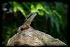 Eastern Water Dragon on a Rock(Physignathus lesueurii)