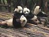 Panda Breeding Sanctuary - Chengdu