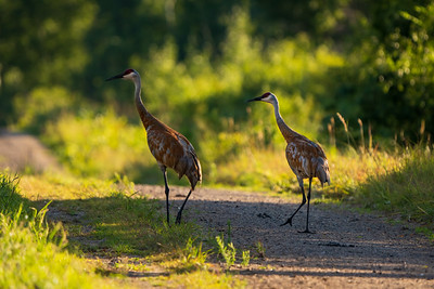 two sandhill cranes standing on a dirt refugee road