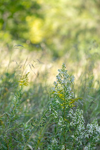 white wildflowers in a midwest prairie