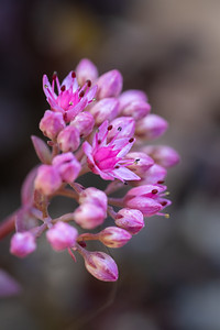 close up of pink flowers off a sedum plant