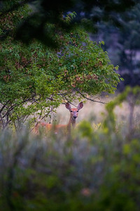 female deer peaking over the tall grass of a prairie