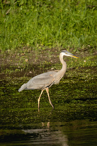 great blue heron standing in the river