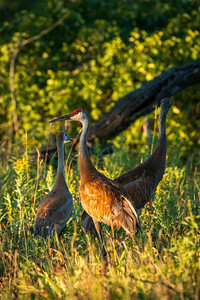 family of sandhill cranes standing at the edge of a refugee prairie