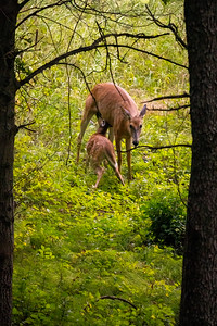 mother deer nursing its young fawn in the woods