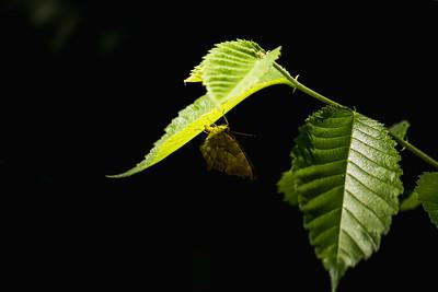 Moth on the Underside of an Illuminated Leaf