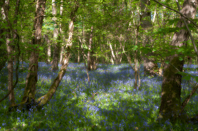 Bluebells and birches