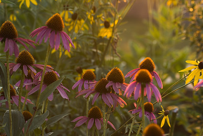 Purple Coneflowers in a Field at Sunset