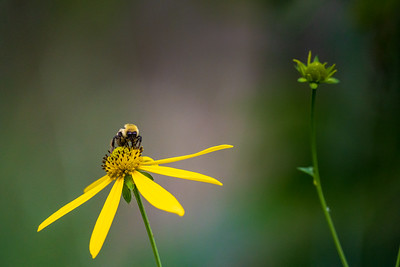 bee on a yellow wildflower